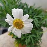 목마가렛(흰꽃) Echeveria halbingeri