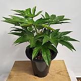 스타팔손이(공기정화식물) 