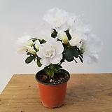 아자레아(흰꽃) 