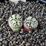 4358-Conophytum  obcordellum multicolor  멀티칼라2두 
