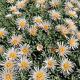 별의눈물 백화 랜덤발송(현재는꽃이 지는중)|