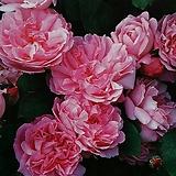 영국장미.대품.메어리 로즈.old rose 향기강함.예쁜핑크색(꽃형 예쁜형).꽃송이가 큼.울타리.넝쿨장미.월동가능.상태굿..늦가을까지 피고 합니다.|