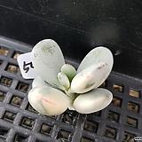 乒乓福娘锦505뿌리무