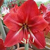 큰꽃아마릴리스|