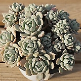 홍령묵은아이 0329-25|Graptoveria A GrimmOne