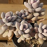 아메치스자연 0329-27|Graptopetalum amethystinum