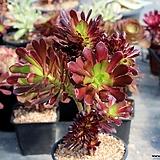 흑법사 철화|Aeonium arboreum var. atropurpureum