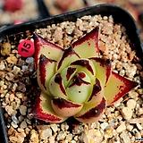 멀티피다|Echeveria agavoides Multifida