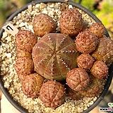 미니오베사02|Euphorbia obesa (Baseball Plant)