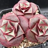 롱기시마 v.롱기시마 자연군생 대품 (Echeveria longissima v. longissima, offset) 