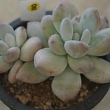 (3月)후레뉴80 Pachyphytum cv Frevel