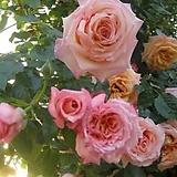 4계명품수입넝쿨장미.바로크.(핑크.산호색)(예쁜기본형꽃형).몰약향기.꽃이큼.아주예뻐요.울타리.넝쿨장미.월동가능.상태굿..늦가을까지 피고 합니다.|