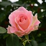 4계명품수입넝쿨장미.로코코.(핑크색)(예쁜기본형꽃형).몰약향기.꽃이큼.아주예뻐요.울타리.넝쿨장미.월동가능.상태굿..늦가을까지 피고 합니다.|