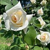 4계명품수입넝쿨장미.스니왈츠.(아이보리.연한산호색)(예쁜기본형꽃형).몰약향기.꽃이큼.아주예뻐요.울타리.넝쿨장미.월동가능.상태굿..늦가을까지 피고 합니다.|Echeveria J.C.Van Keppel