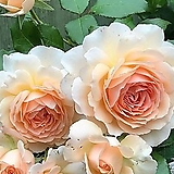 독일장미.피아노시리즈중.찬도스뷰티.예쁜연산호색.과일향과몰약향기.(꽃형 예쁜형).울타리.넝쿨장미.월동가능.상태굿..늦가을까지 피고 합니다..~|