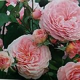 영국장미.대품.제임스 겔웨이.old rose 향기.예쁜살구핑크색(꽃형 로제트.예쁜형).꽃송이가 큼.울타리.넝쿨장미.월동가능.상태굿..늦가을까지 피고 합니다.|