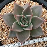 제이드스타 자구 ( Echeveria agavoides 'Jade Star', offset) 