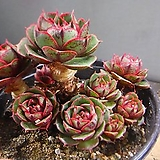 환엽롱기시마군생 330-1662 Echeveria longissima