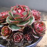 환엽롱기시마군생 330-2574 Echeveria longissima
