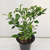 레드향/열매열리는 나무/공기정화식물/반려식물/온누리 꽃농원 |
