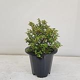 백자단/공기정화식물/반려식물/온누리 꽃농원|