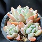 후레뉴자연군생|Pachyphytum cv Frevel