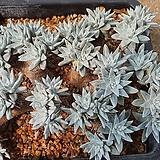 목대화이트그리니04011|Dudleya White gnoma(White greenii / White sprite)
