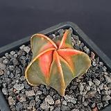 홍엽난봉옥금(실생7.5년)PK016 
