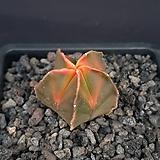 홍엽난봉옥금(실생7년)PK020 