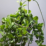 공중식물 디시디아|
