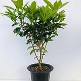 산호수나무 (대품 동일품배송 )|