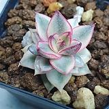 모노케로티스 루비 복륜금|Echeveria Monocerotis