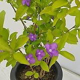 브롬펜자스민/야영화/공기정화식물/반려식물/온누리 꽃농원|