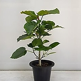 휘카스 움베르타/공기정화식물/반려식물/온누리 꽃농원|
