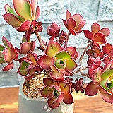 아름다운Aeonium Roscov老庄群生