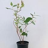 은방울꽃나무 (동일품배송)|