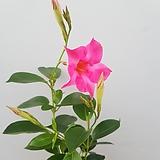 만데빌라  핑크
