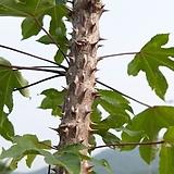 음나무 엄나무 묘목♡산나물의 귀족♡사포닌 함유|