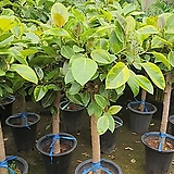 뱅갈고무나무  대 사이즈약130~150cm|