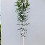 티트리나무 (특대품 동일품배송)|