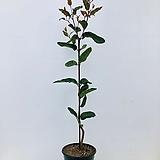 빨강꽃유칼립투스 픽시폴리아 (동일품배송 )|Echeveria minima hy (pixie)