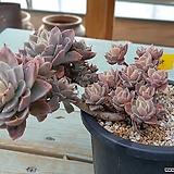 멋진수형 자랑하는 묵둥이군생 핑크베라-40211|Echeveria Pink Vera