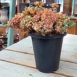 주황빛 묵둥이 천대전송철화-40212|Pachyphytum compactum