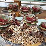 짱짱묵둥이 환엽롱기시마-4021|Echeveria longissima