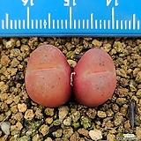 마우가니 교배종|Conophytum maughanii
