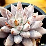 토리마넨시스.대품.011 Echeveria tolimanensis