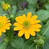 애기해바라기/산비탈리아꽃|