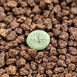 C.obcordellum stenandrum 스테난드럼