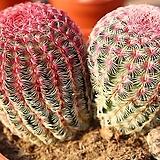 자태양 203|Echinocereus rigidissimus Purpleus