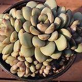 홍포도 59|Graptoveria Ametum